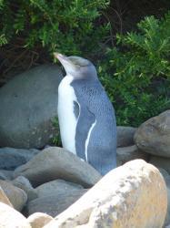 catlins-pingouins-2.jpg