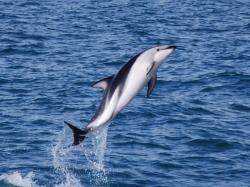 kaikoura-dauphins-4.jpg