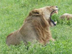 ngorongoro-lion.jpg