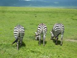 ngorongoro-zebres-posterieurs.jpg