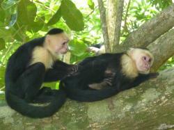 parc-manuel-antonio-singes-a-tete-blanche.jpg
