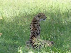 serengeti-guepard.jpg