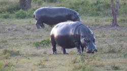 serengeti-hippopotames.jpg