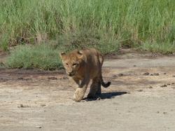 serengeti-lionceau.jpg