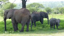 tarangire-elephants-4.jpg
