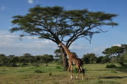 tarangire-girafe-2.jpg